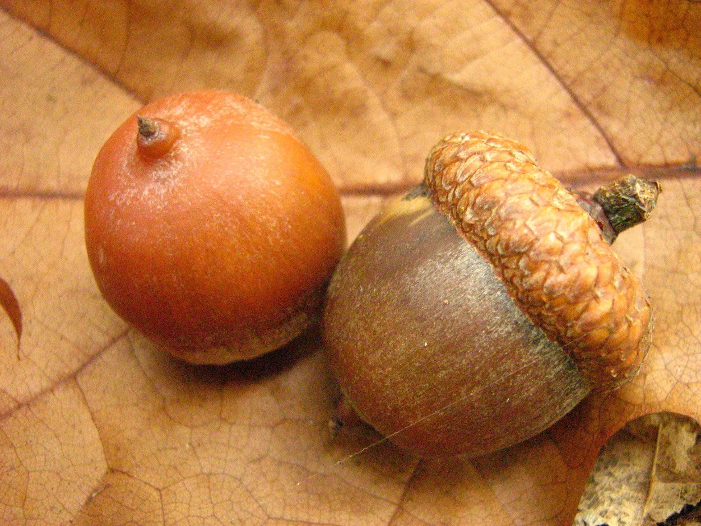 Frutos del Quercus rubra