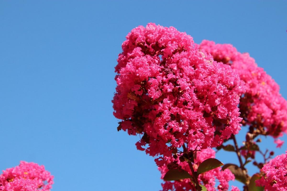 La Lagerstroemia indica es un árbol caduco