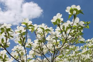 Flores de Cornus florida