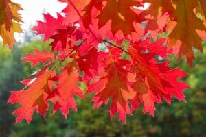 El Quercus rubra es un árbol caduco
