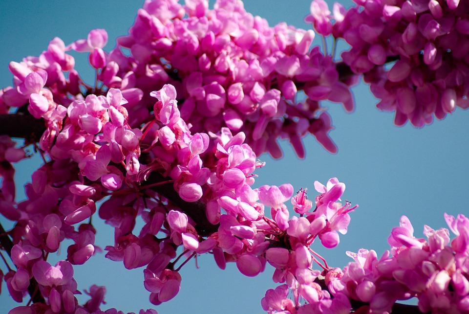 Flores del Cercis siliquastrum