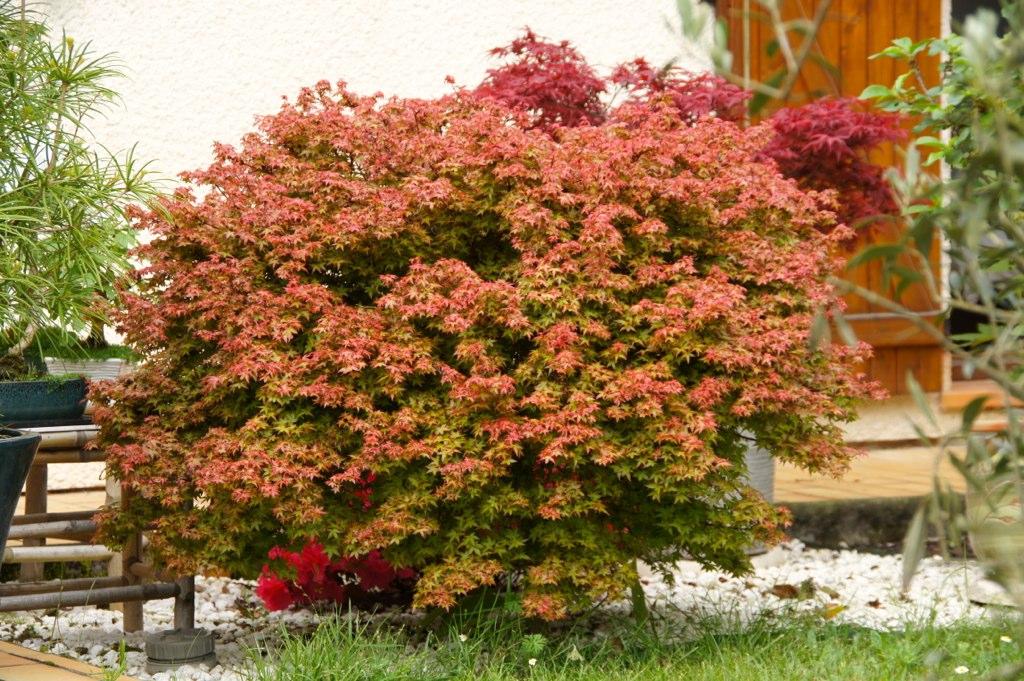 Acer palmatum cv Beni hime