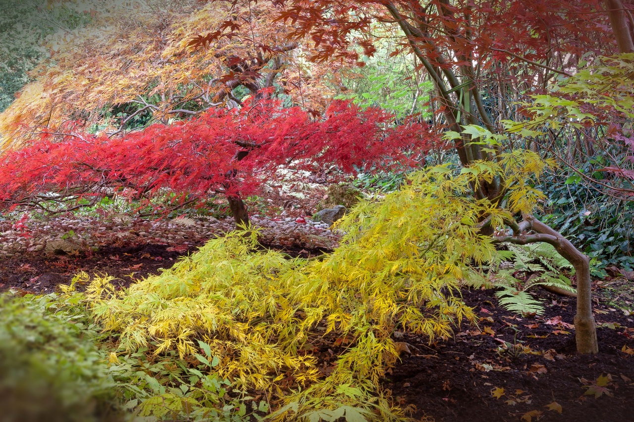 Arce japonés en hábitat