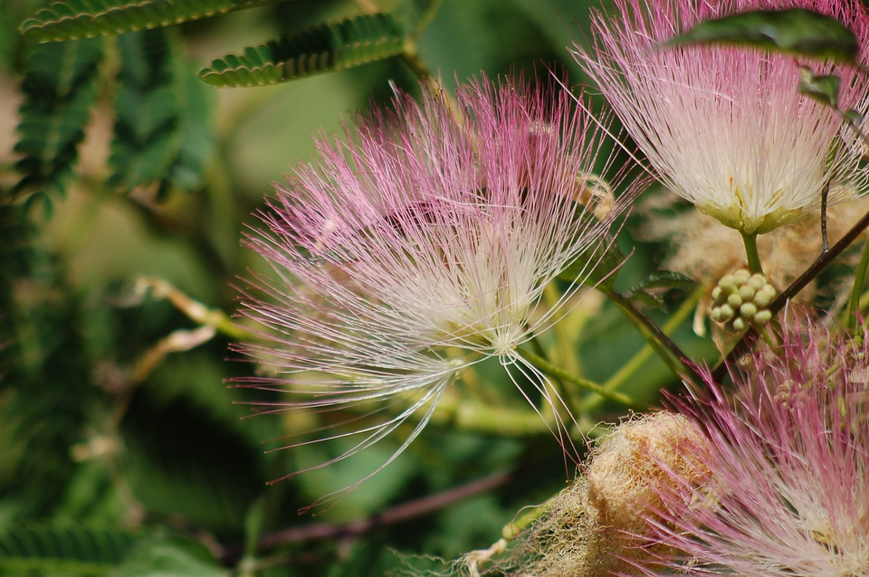 Las flores de la Albizia julibrissin son rosadas