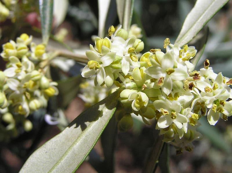 Las flores del olivo son hermafroditas