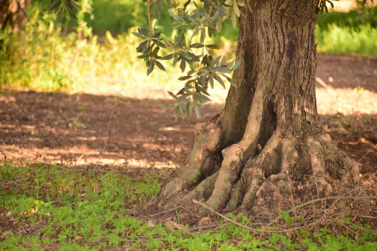 El olivo es un árbol frutal
