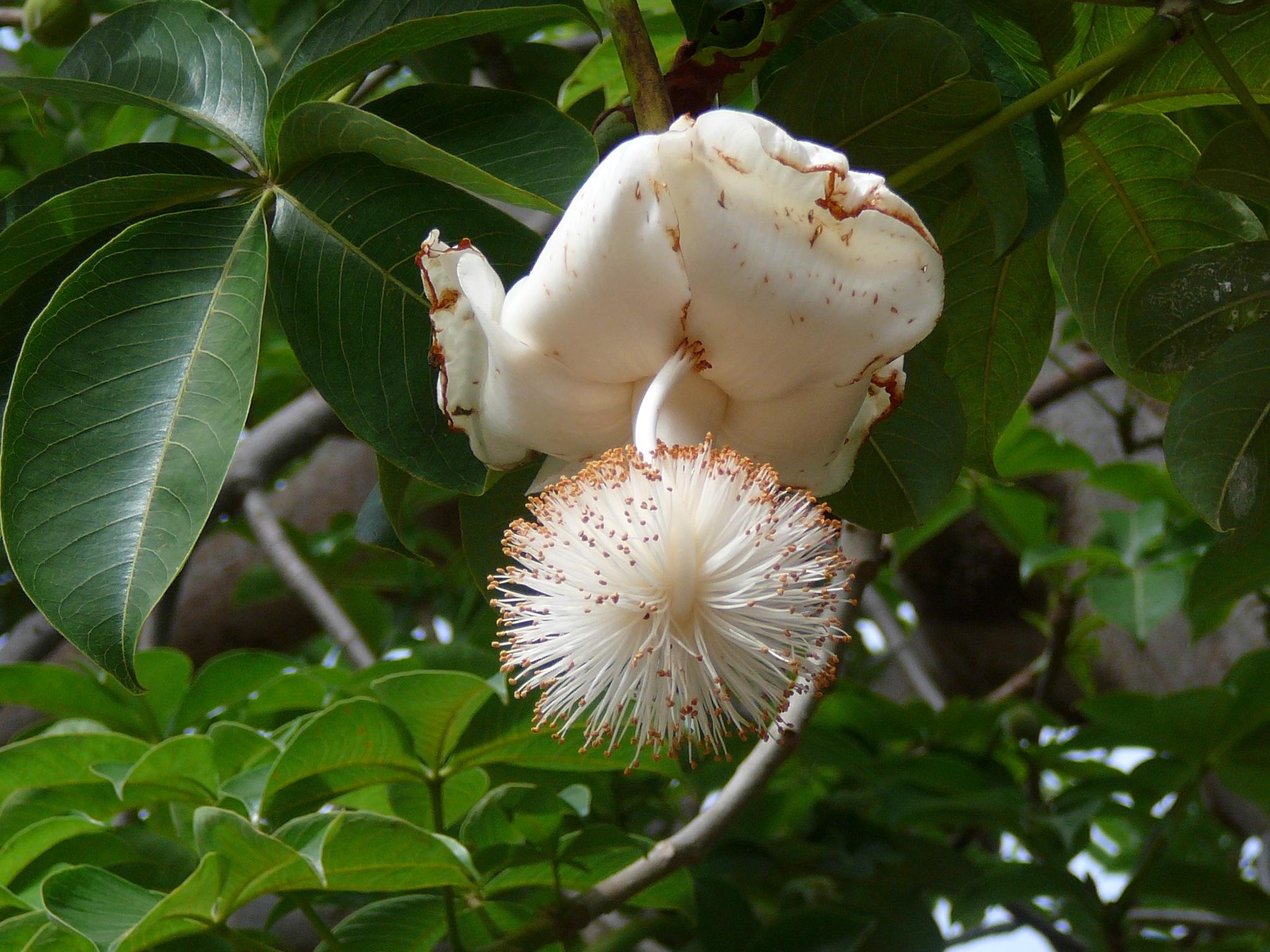 Las flores del baobab son blancas
