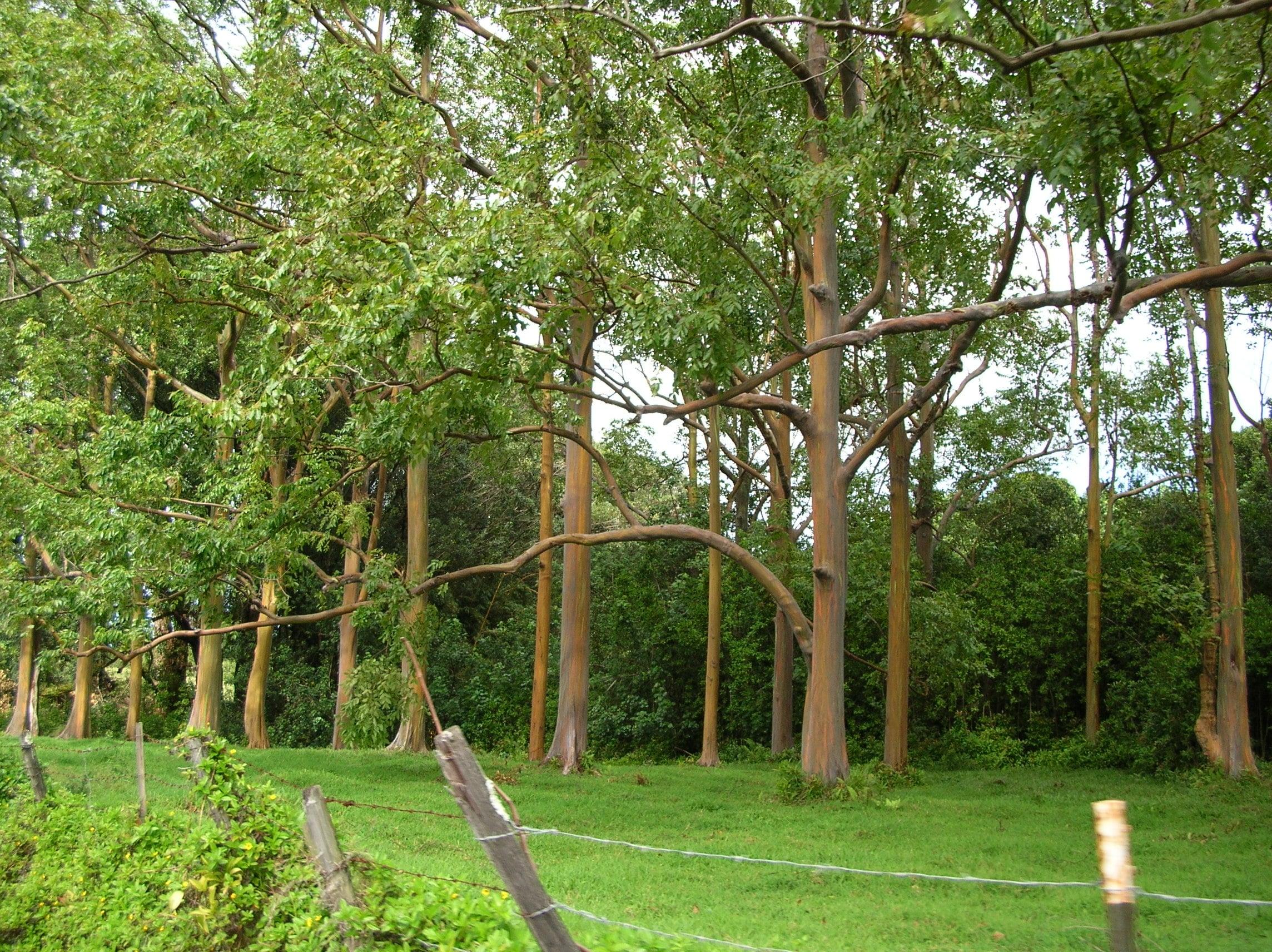 Plantación de eucalipto arcoiris