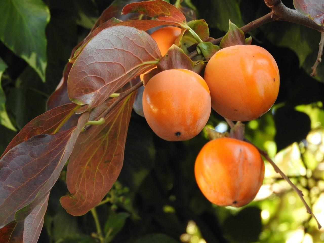 Kaki con frutos