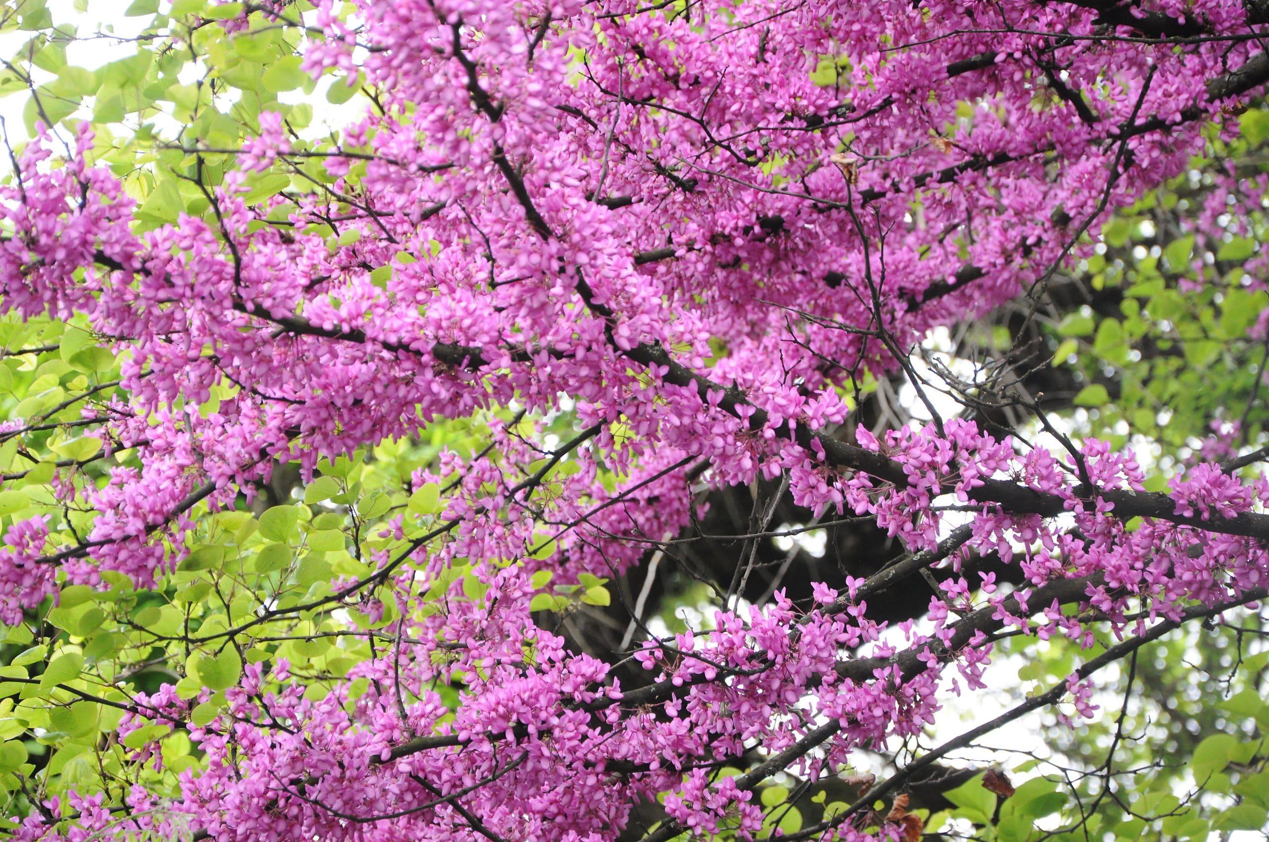 Cercis siliquatrum en flor