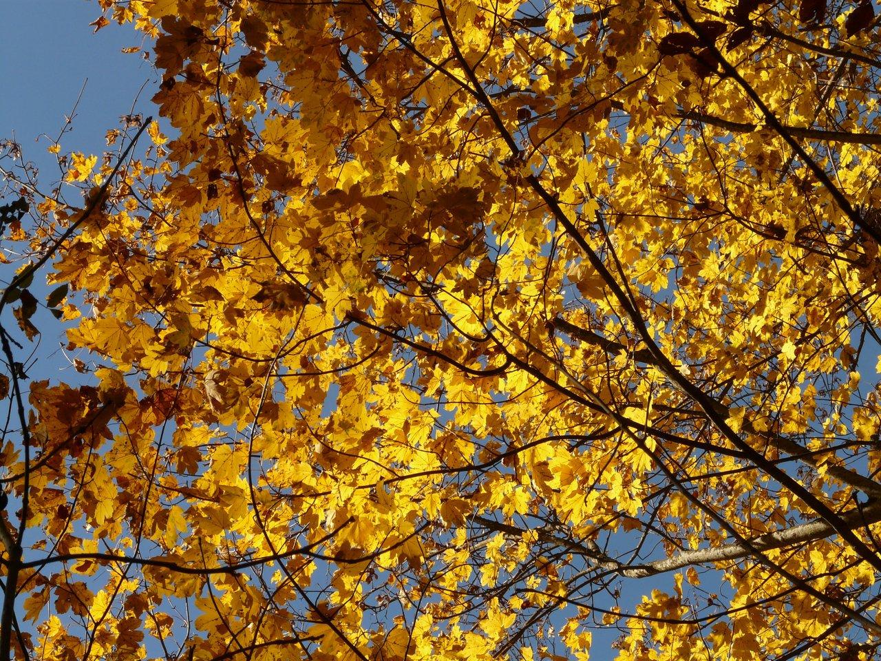 Falso plátano en otoño