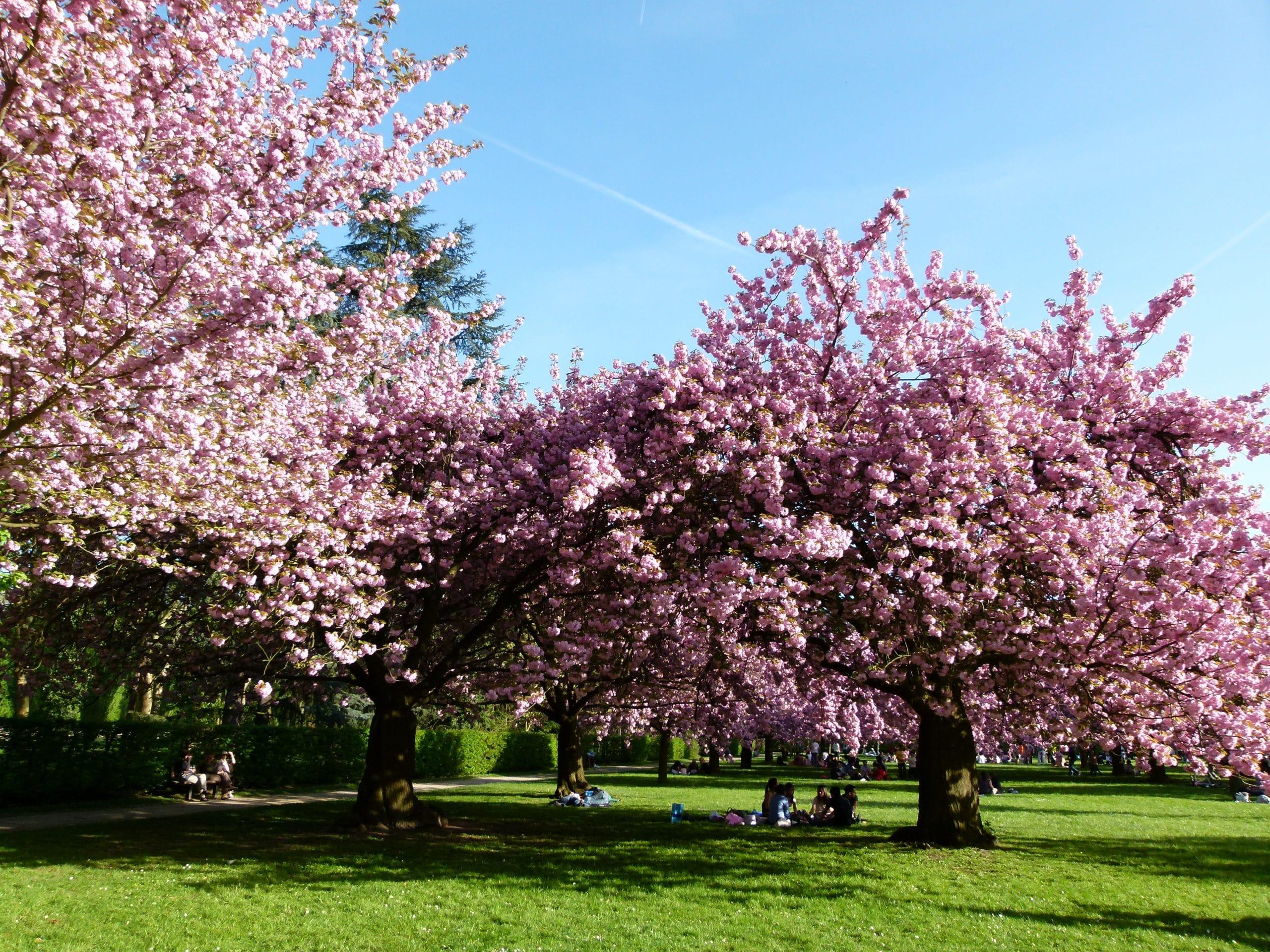Arbol De Cerezo Japones ficha del prunus serrulata o cerezo japonés - todo Árboles