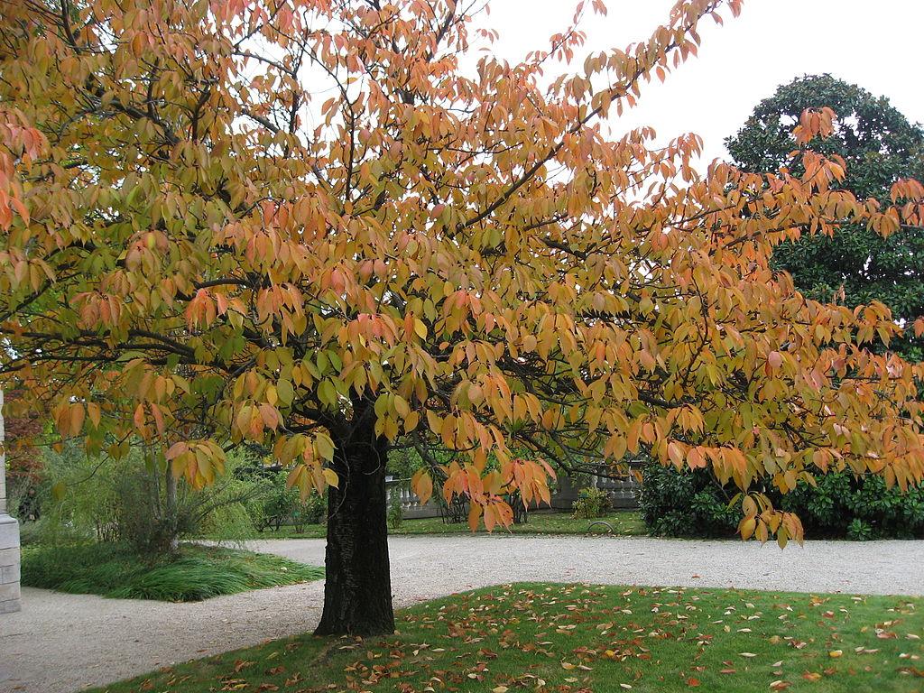 Prunus serrulata en otoño