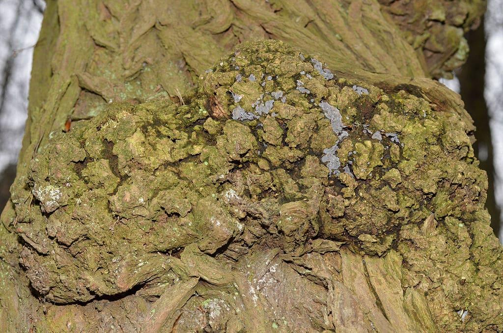 El chancro afecta a los árboles