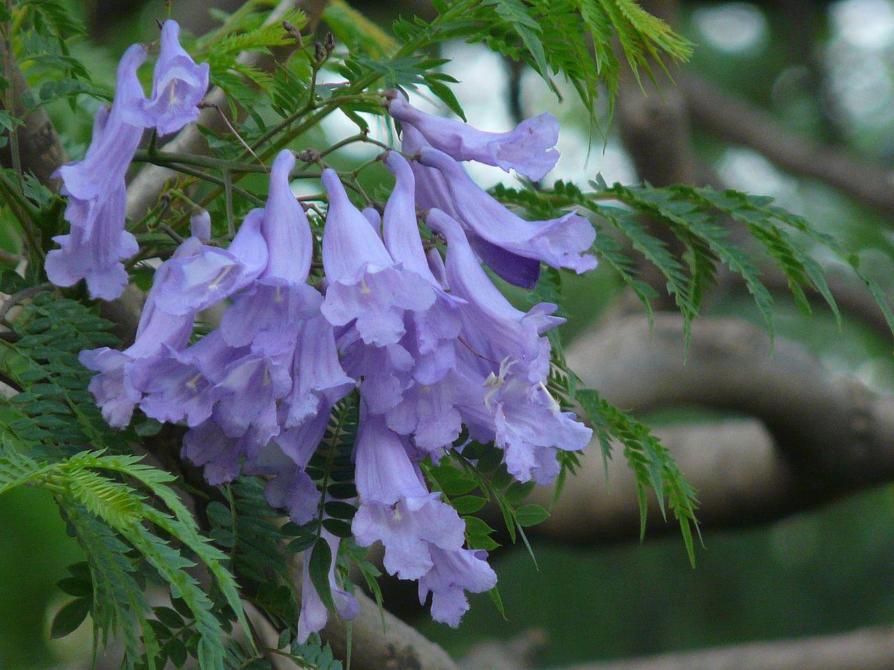 Las flores del jacaranda son numerosas