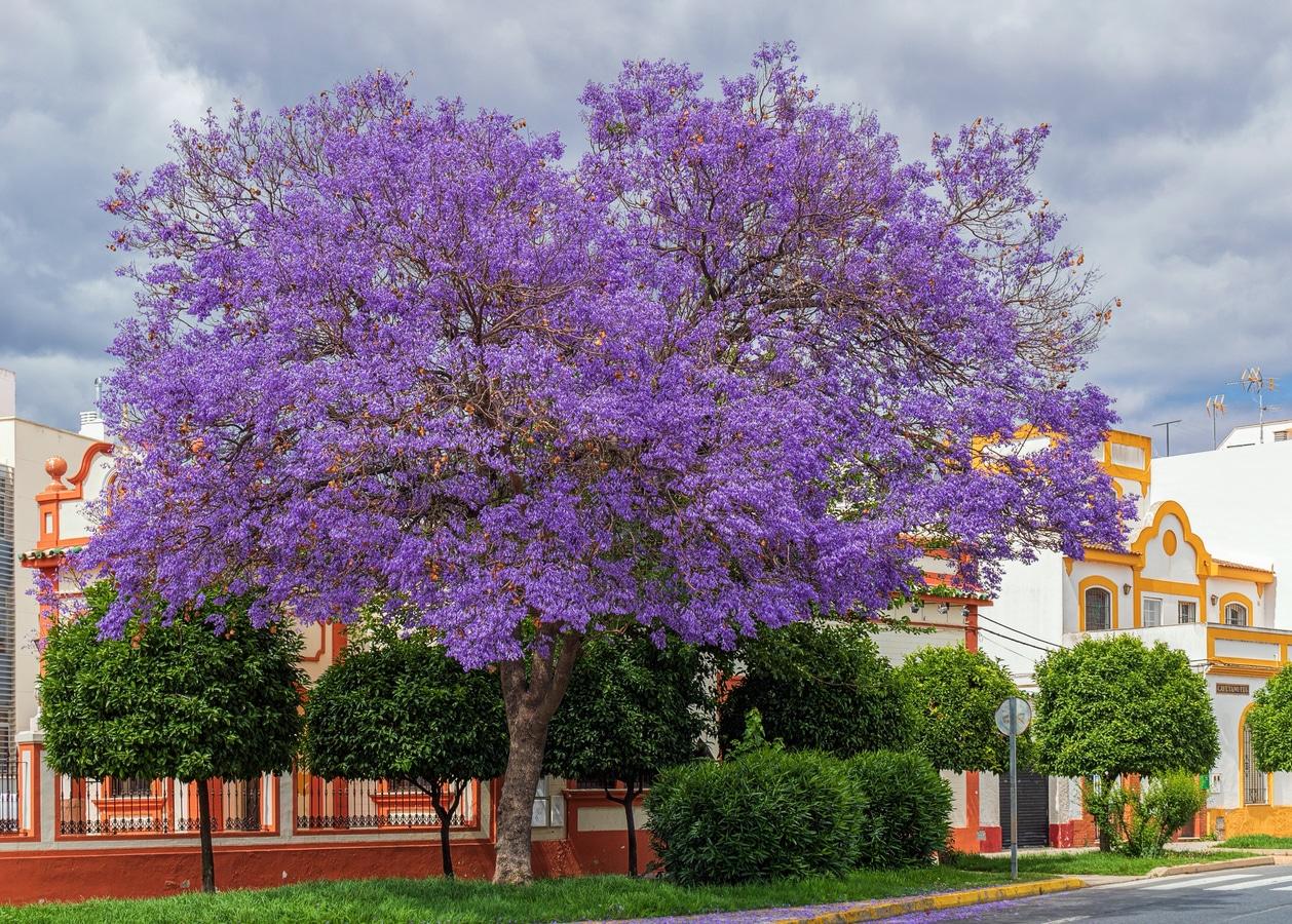 El jacaranda es un árbol ornamental