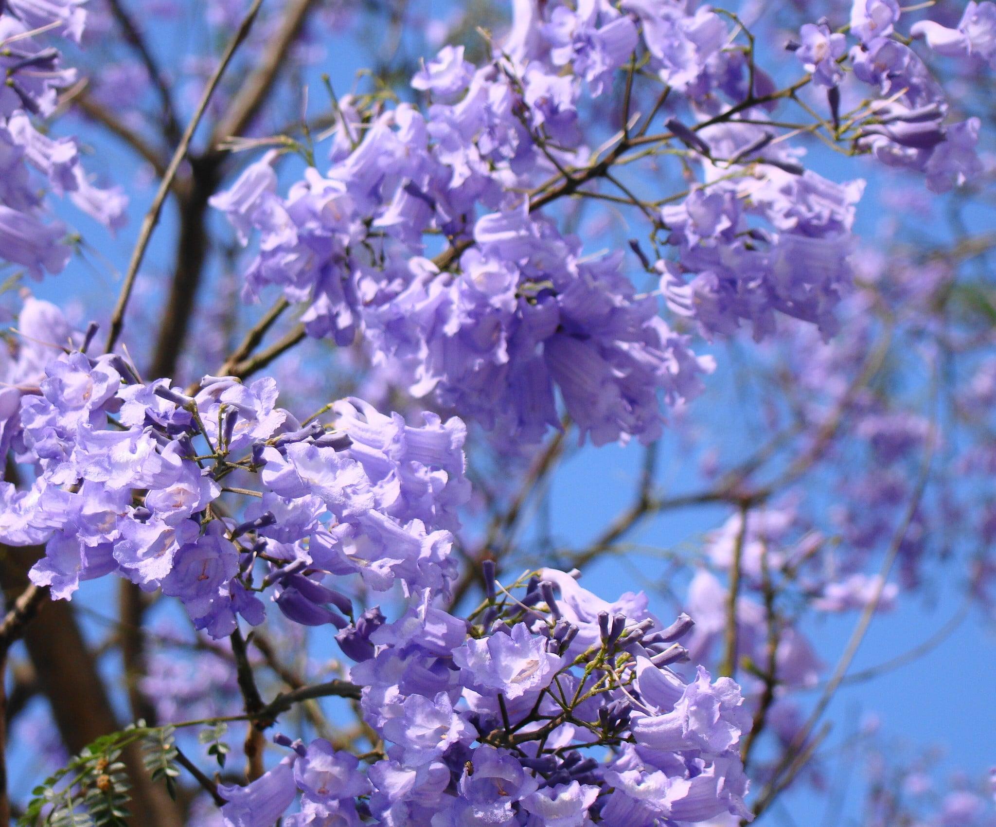 Las flores del jacaranda aparecen en primavera