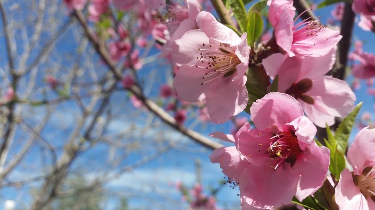 El almendro florece en primavera