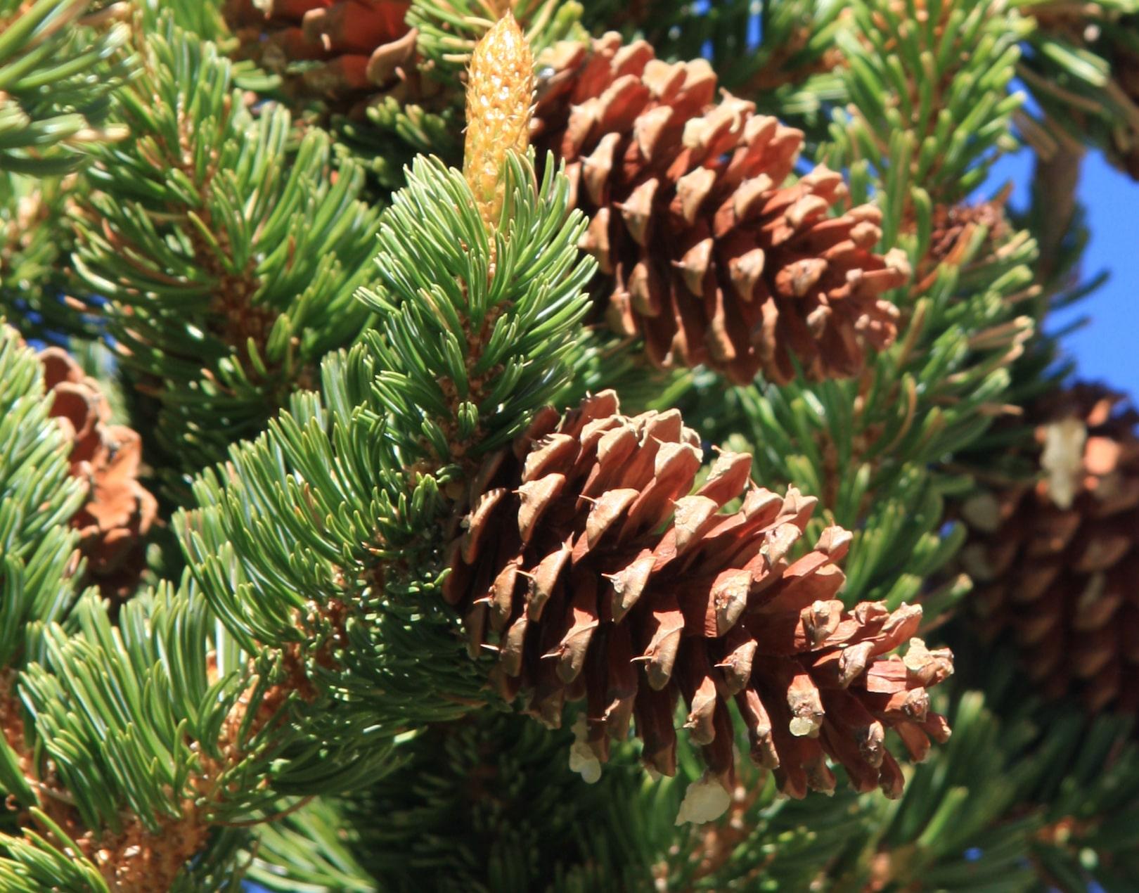 Conos del pino longevo