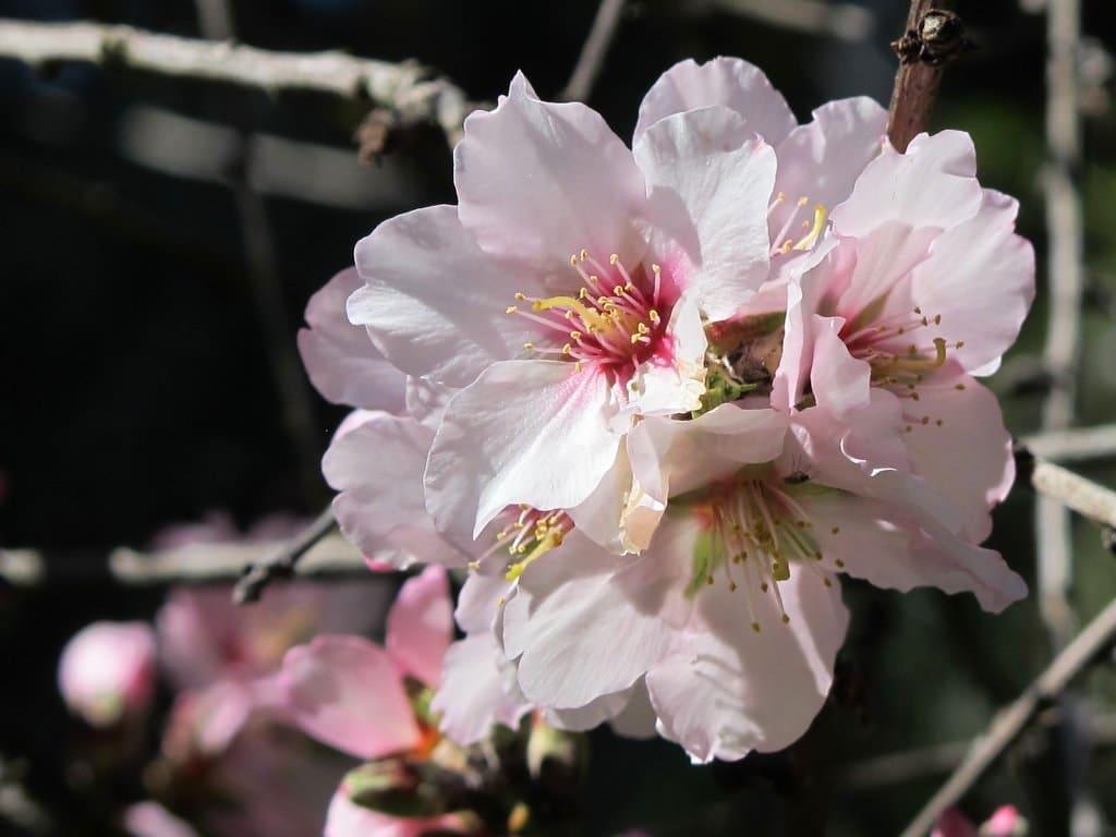Las flores de almendro son blancas o rosadas