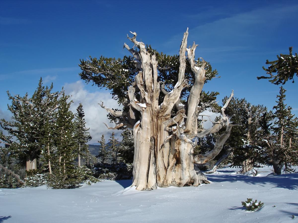 El pino longevo crece lento