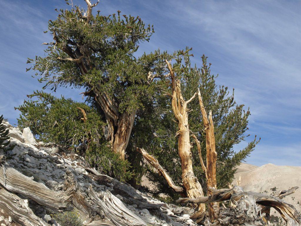 El Pinus longaeva es un árbol muy longevo