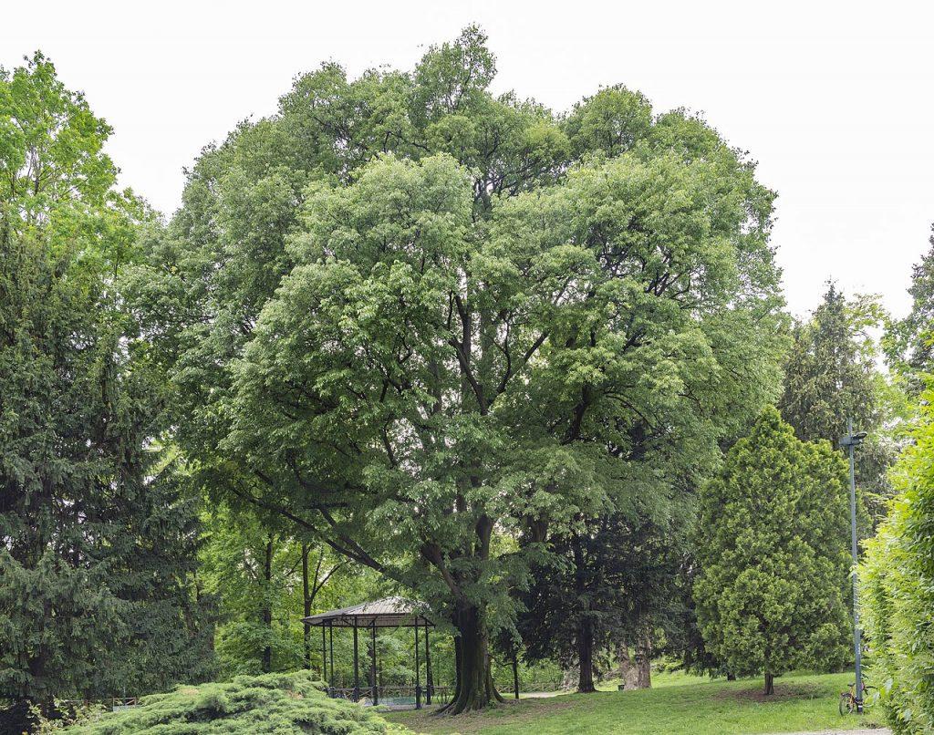 El almez es un árbol caducifolio