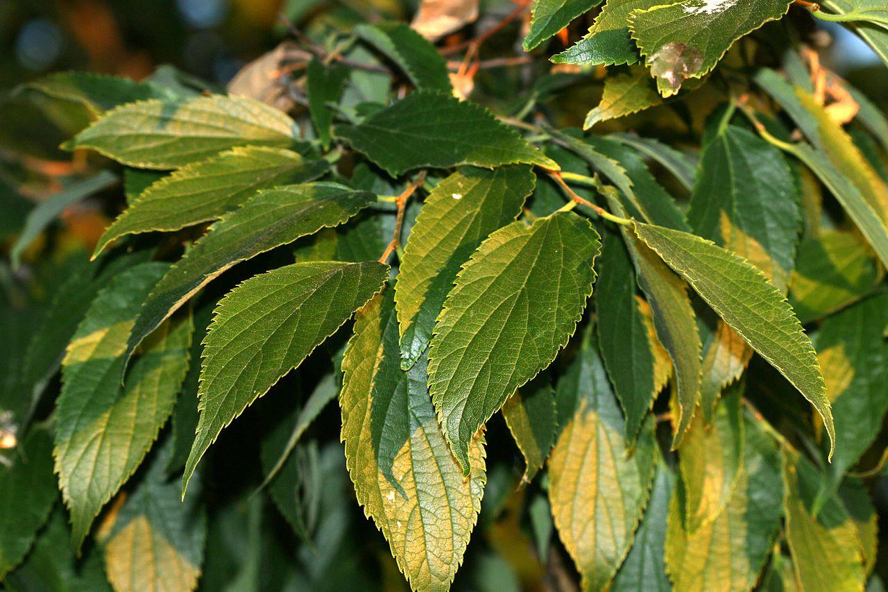 Las hojas de almez son caducas