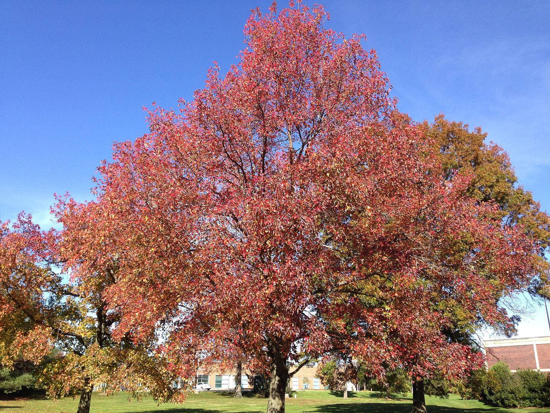 El liquidambar es un árbol ornamental