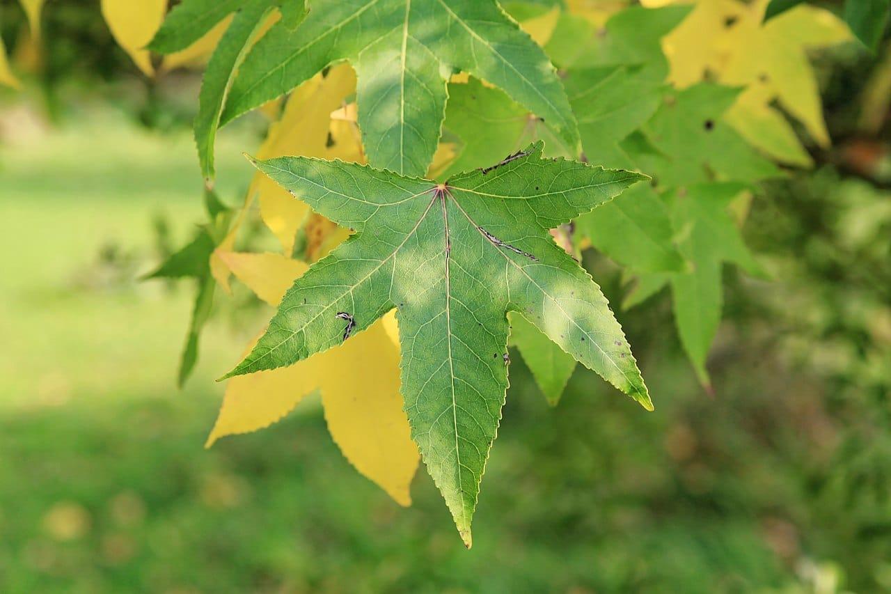 Las hojas del liquidambar son caducas