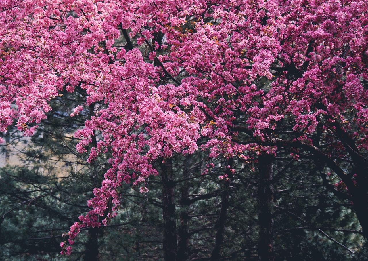 Manzano japonés
