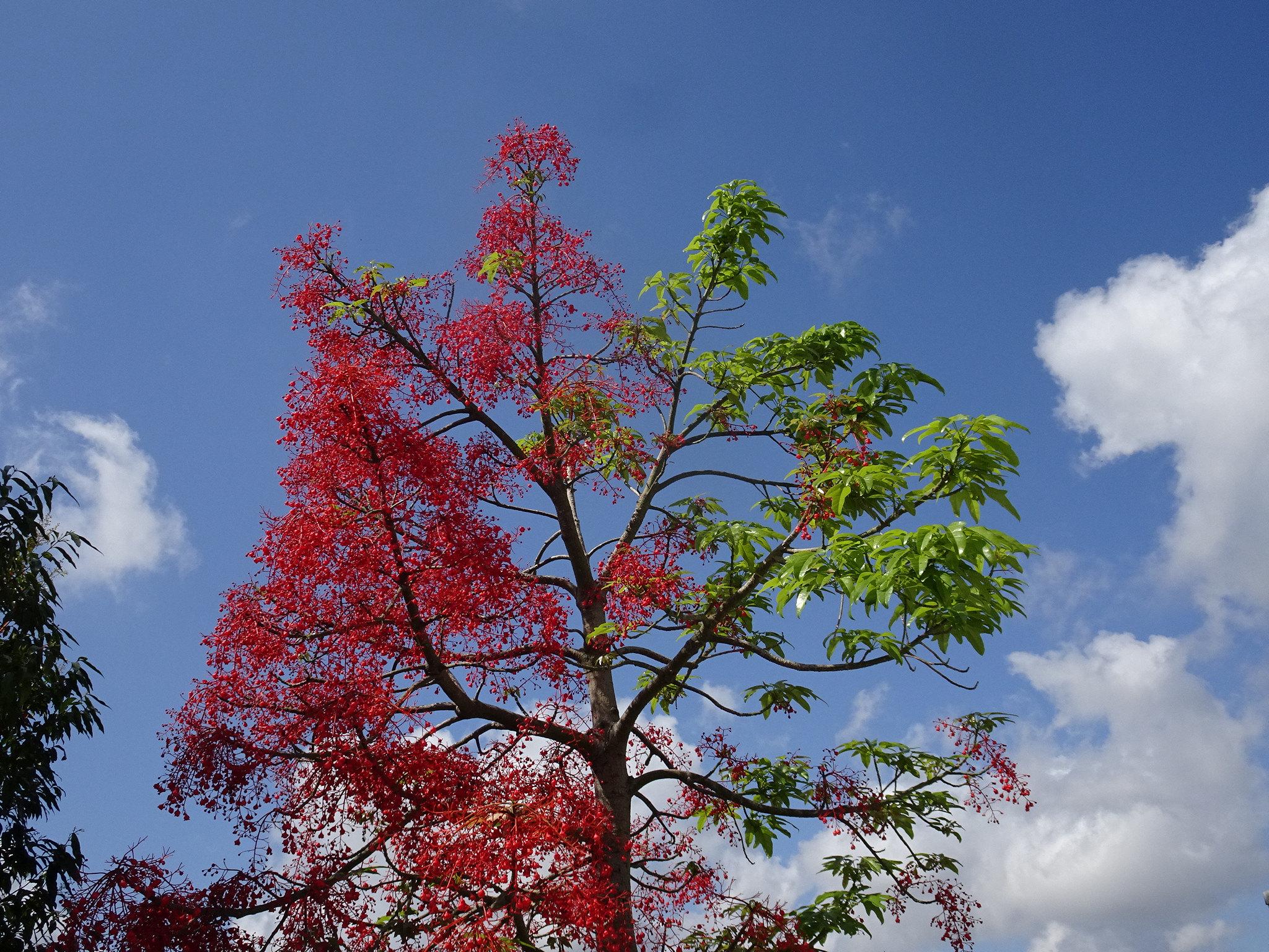 El árbol de fuego es un árbol muy bonito