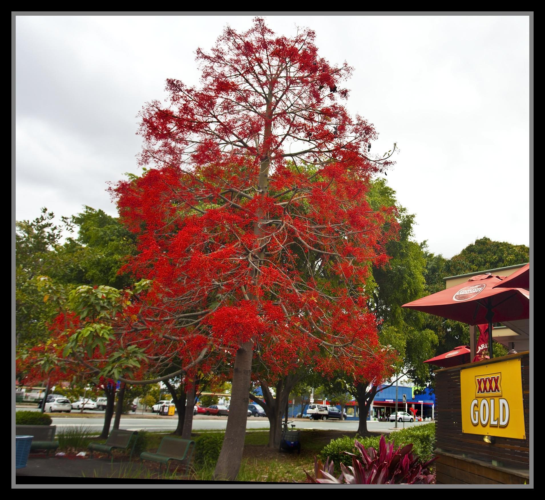 El Brachychiton acerifolius es un árbol grande