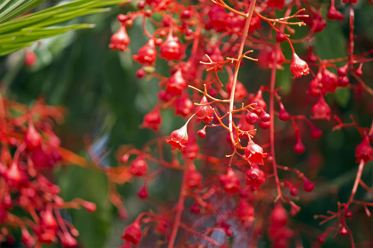 Las flores del Brachycchiton acerifolius son rojas