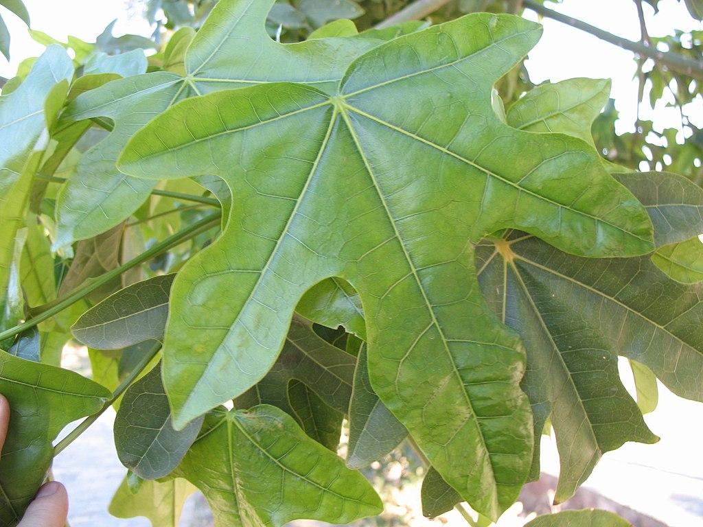 Las hojas del Brachychiton acerifolius son lobuladas