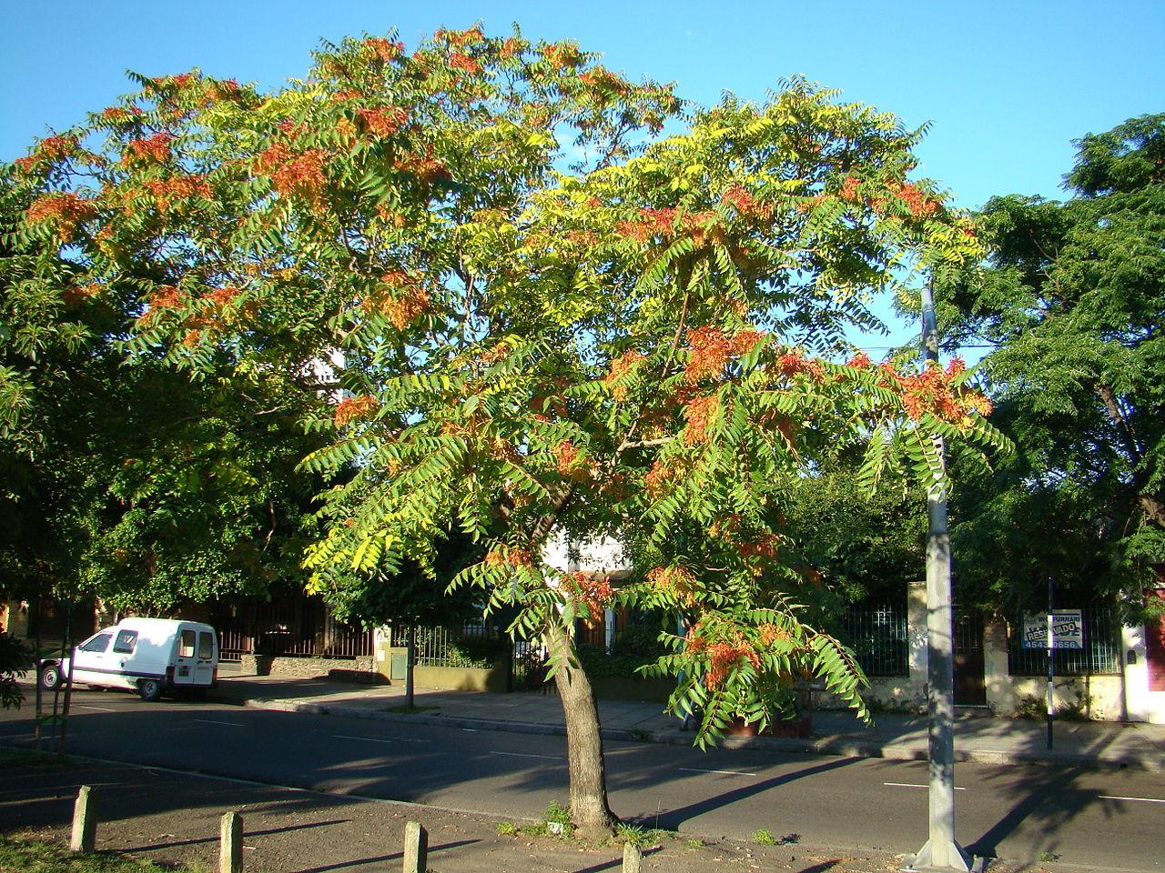 El ailanto es un árbol de rápido crecimiento