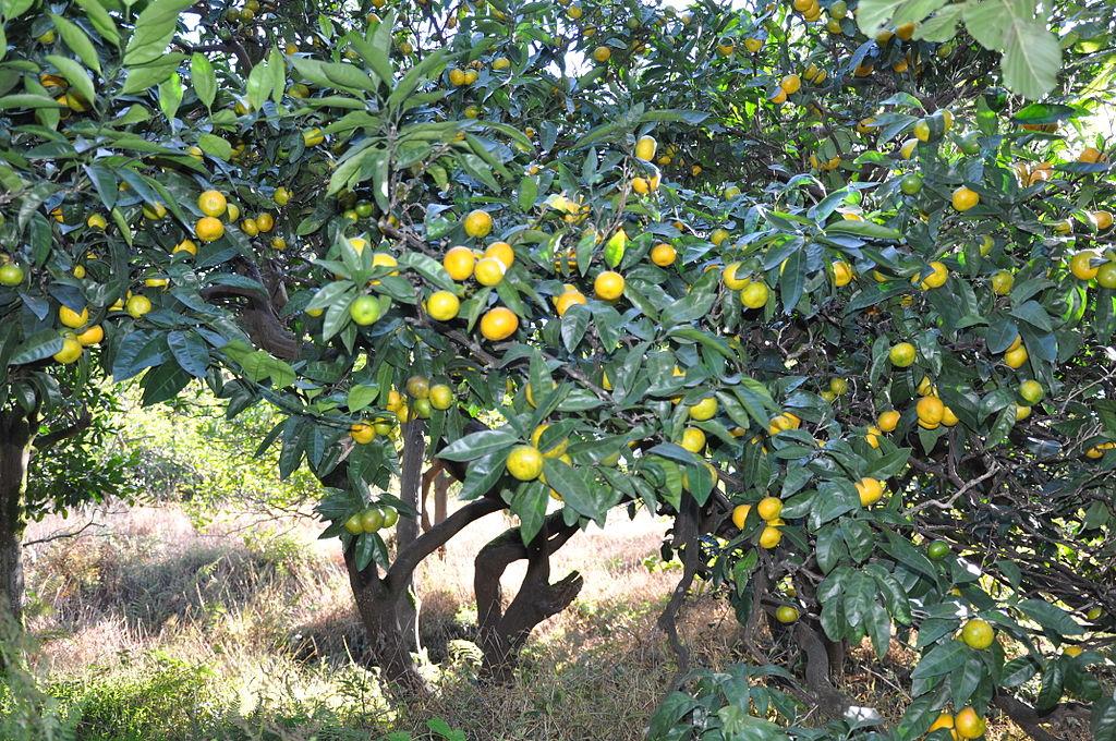 Vista del mandarino