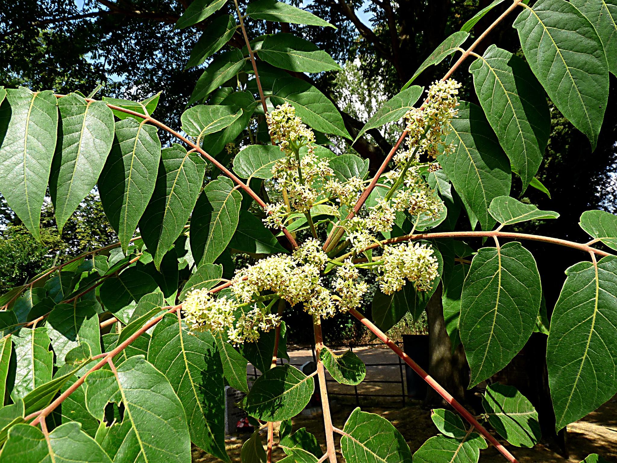 La flor de ailanto aparece en primavera