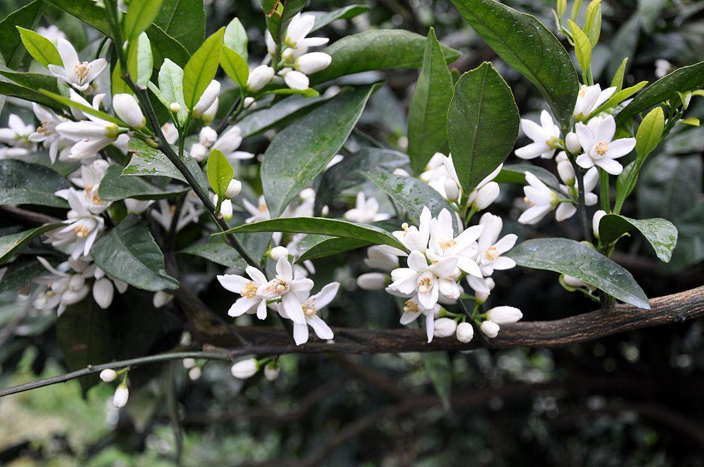Las flores del mandarino son blancas