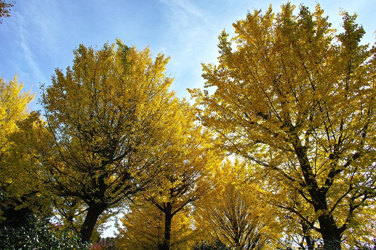 El ginkgo en otoño se vuelve amarillo