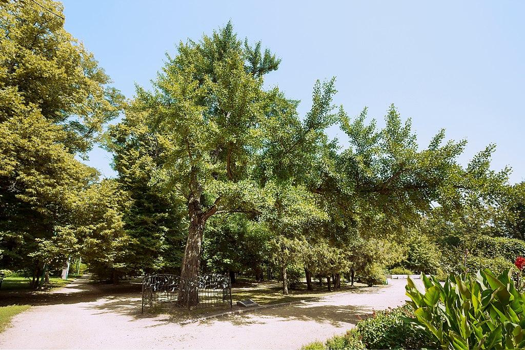El Ginkgo es un árbol grande