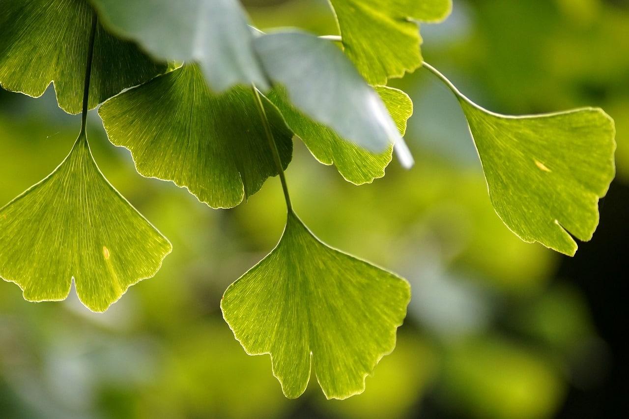 Las hojas del Ginkgo son caducas