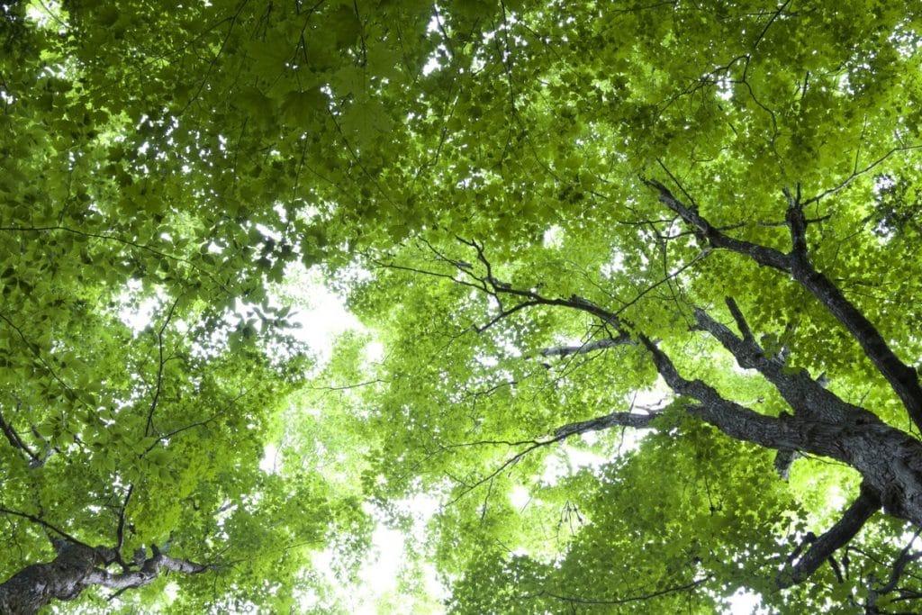 Los árboles son plantas altas