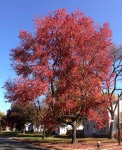 Acer rubrum en otoño