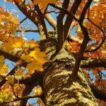 Acer platanoides en otoño