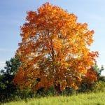 Vista del arce real en otoño