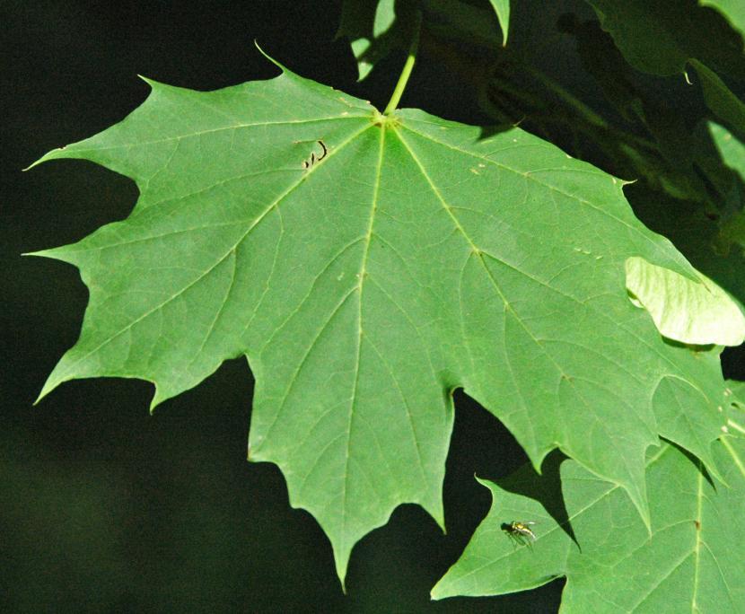 Hoja de Acer platanoides