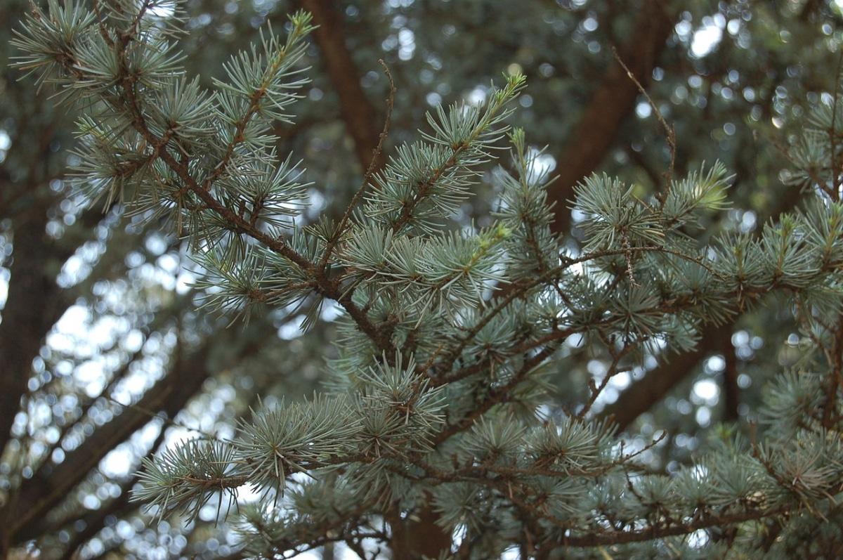 Las hojas del cedrus atlantica son perennes