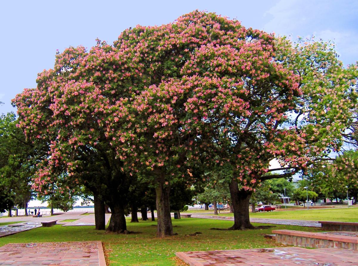 La Chorisia speciosa es un árbol grande