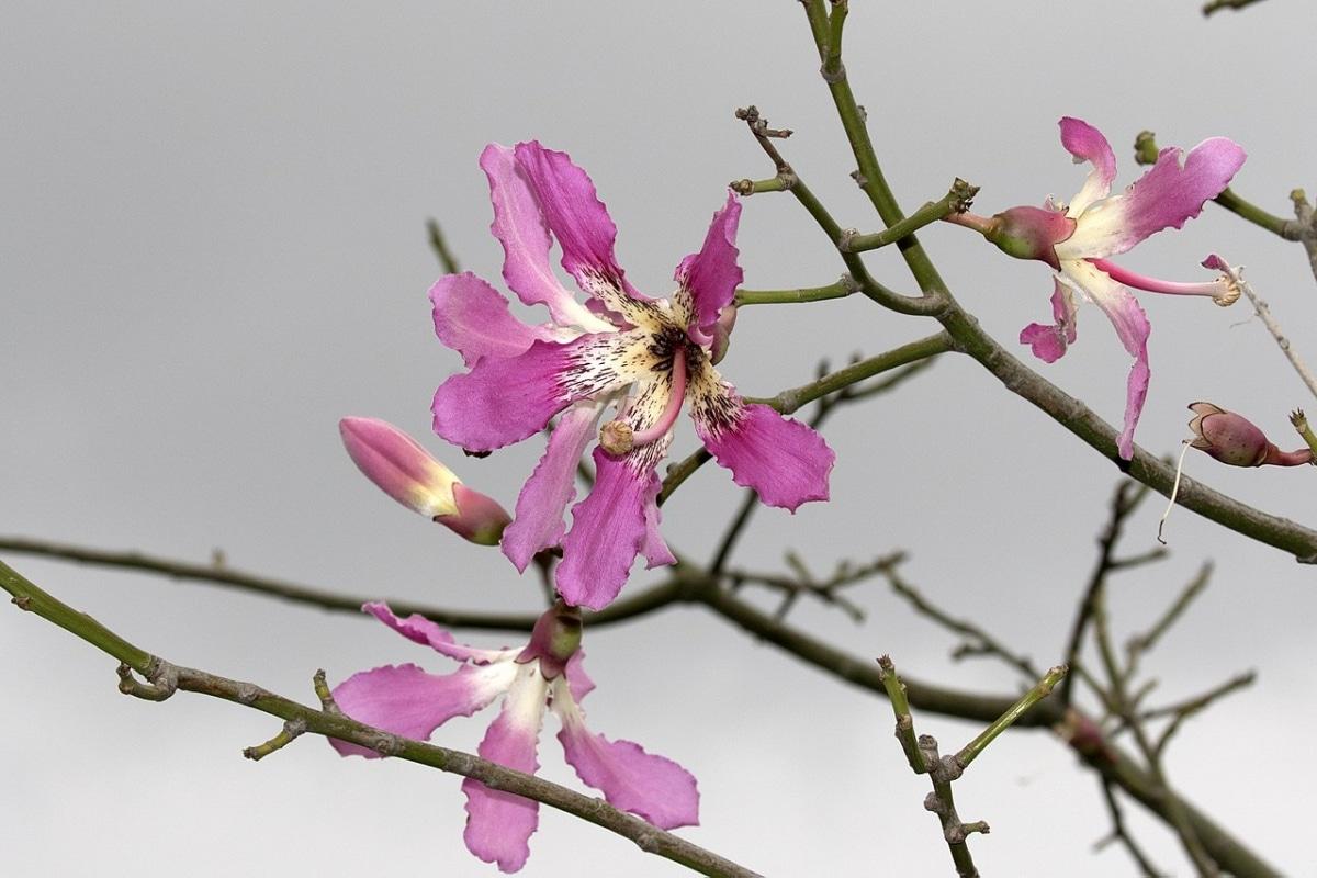 La Chorisia speciosa es un árbol caducifolio